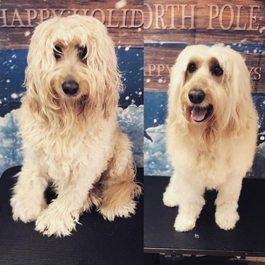 labradoodle before and after grooming
