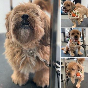 shaggy dog transformed into a sleek puppy