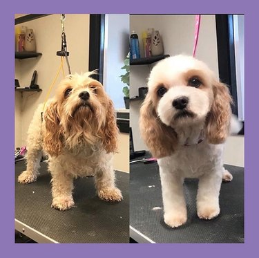 king charles cavachon before and after grooming