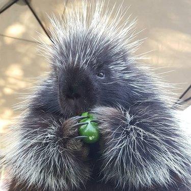 porcupine eats cucumber like a champ