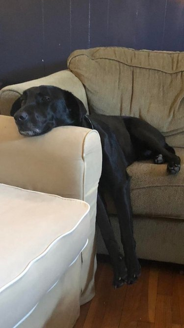 Dog lying with its back half on a couch, and its chin resting on the arm of a different couch