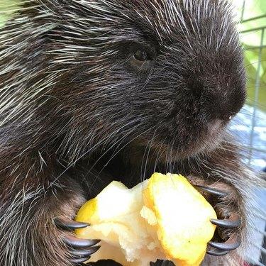 porcupine noms on juicy pear