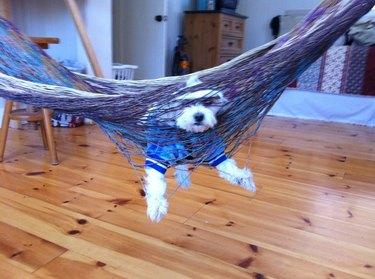Dog stuck in a hammock.