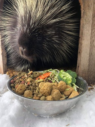 porcupine eats from bowl of veggies