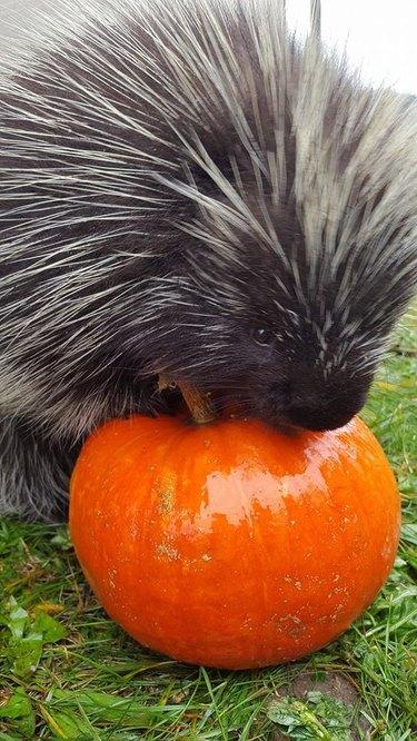 porcupine nibbles on pumpkin