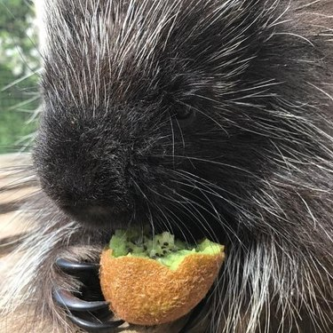 porcupine chomps on kiwi