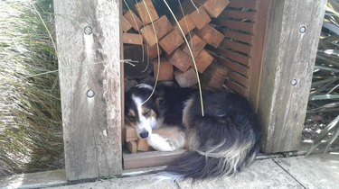 Dog curled up in wood shed