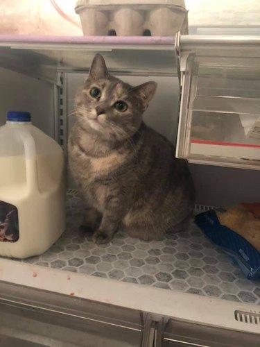 lost cat named Peeve found in fridge