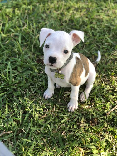 Boxer puppy in the grass