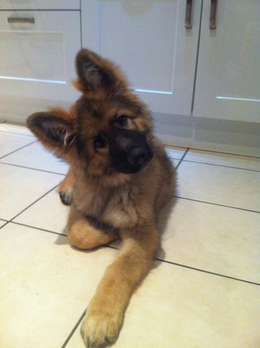 Puppy with big ears.