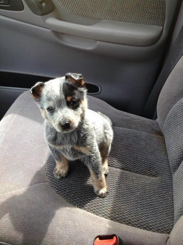 Puppy in the passenger's seat of a car.