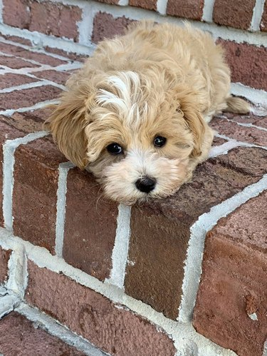 Puppy laying on brick stairs