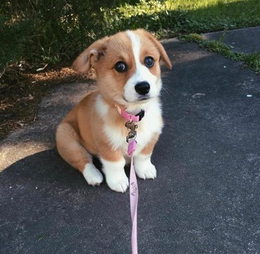 Puppy on a leash looking concerned.