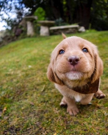 Puppy in the grass looking at camera