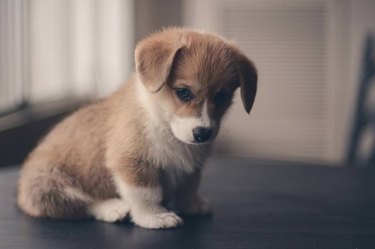 Puppy looking contemplative.