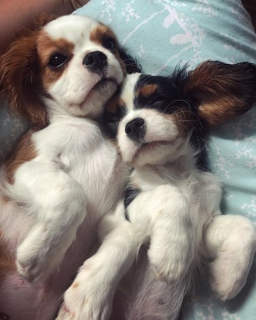 Two puppies cuddling on their backs