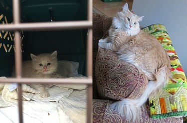 Side-by-side photos of a fluffy cat as a kitten in a kennel and as an adult on a couch.