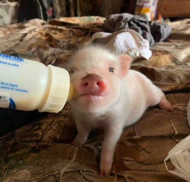 tiny pig drinks from bottle