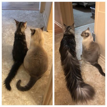 Side-by-side photos of a fluffy cat as a kitten and as an adult with a very fluffy tail.