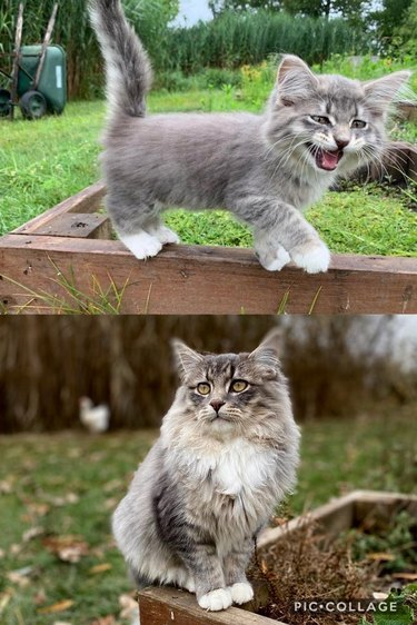 Side-by-side photos of a fluffy cat as a meowing kitten and as an adult.
