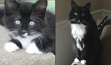 Side-by-side photos of a fluffy cat as a kitten and as an adult.