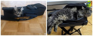 Side-by-side photos of a fluffy cat lying in a violin case as a kitten and as an adult