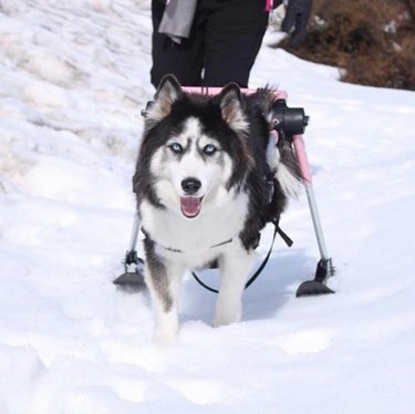 a husky in the snow on wheels