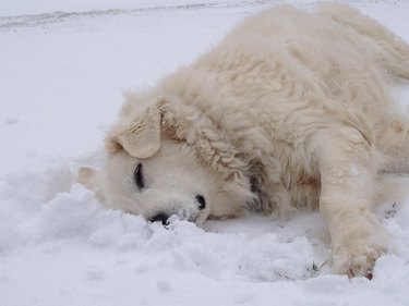 White dog laying in snow