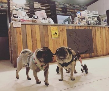 pug in wheelchair with friend