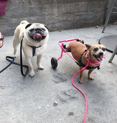 dog in pink wheelchair with pug dog