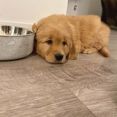 golden puppy waiting by food bowl