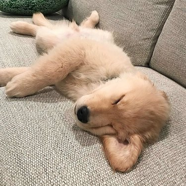 golden puppy sleeping with ear out
