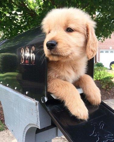 golden puppy in mailbox
