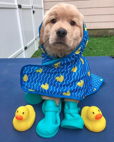 golden puppy in raincoat and galoshes