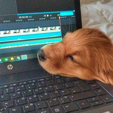 golden puppy on laptop