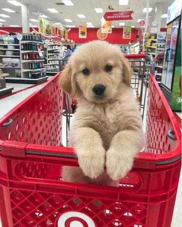 golden puppy in shopping carpet