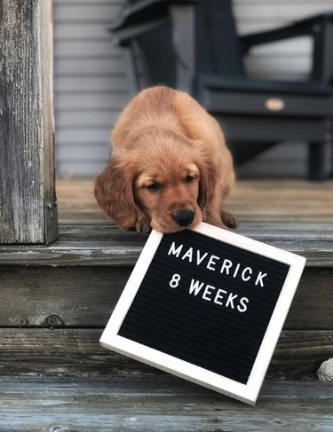 golden puppy with age sign