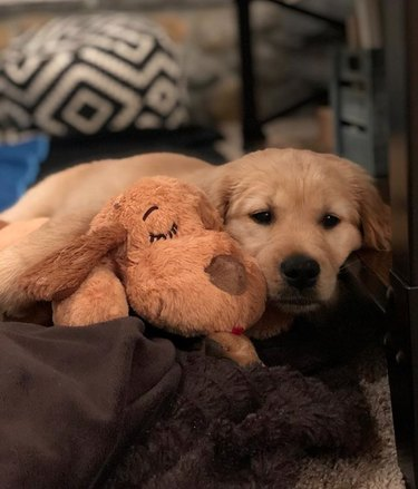 golden puppy with stuffed toy