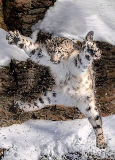 snow leopard jumps in air