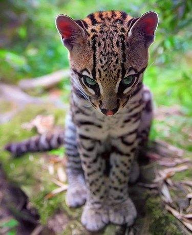 beautiful jungle cat with jade green eyes