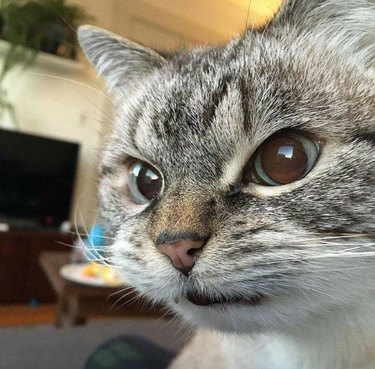 cat with angry expression on face
