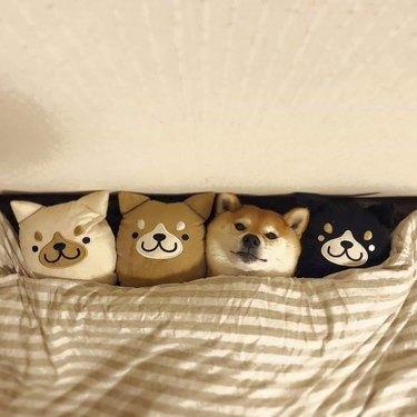 shibu inu dog cuddles with plush dolls