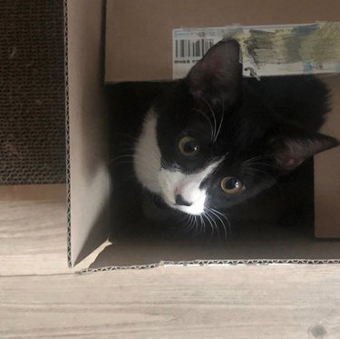 black and white cat inside box