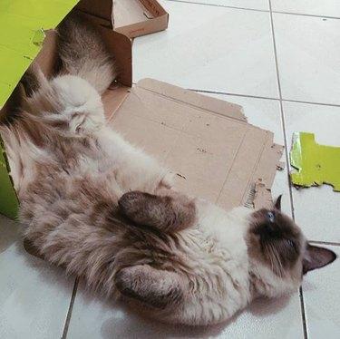 cat inside shredded box