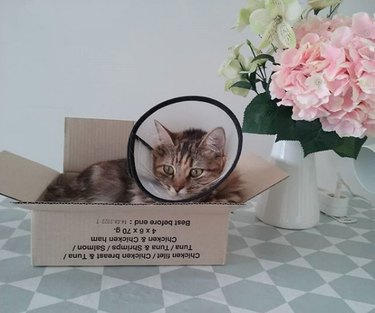 cat with cone around neck inside box