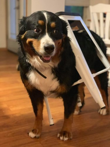 chair stuck in dog