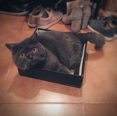 dark gray cat inside black box lid