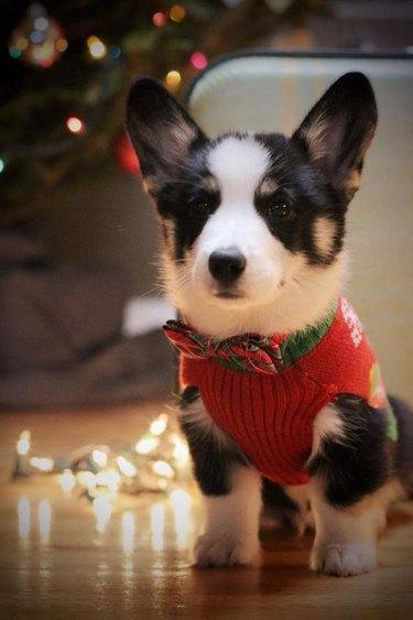 Corgi in sweater