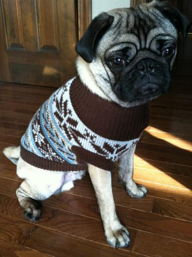 pug in a christmas sweater