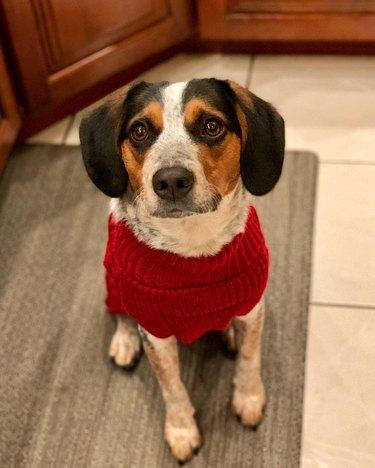 cute dog in red sweater